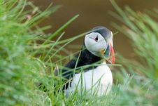 Free Puffin Stock Image - 7948741