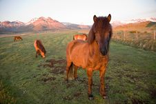 Free Icelandic Horses Royalty Free Stock Images - 7948759
