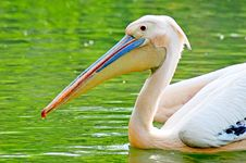 Free Pelican Stock Photo - 7948760