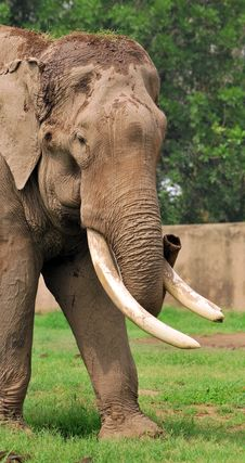 Free Asian Elephant Stock Image - 7949091