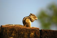 Free Squirrel Royalty Free Stock Image - 7949606