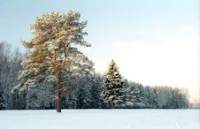 Free Pine-tree Near Winter Forest Stock Images - 7949664
