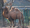 Free Bactrian Camel Stock Images - 7950064