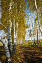 Free Birch Grove Royalty Free Stock Images - 7957809