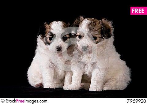 Free Papillon Puppy S Stock Photo - 7959920