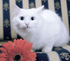 Free White Cat On Beautiful Sofa With Red Flower Stock Images - 7951294