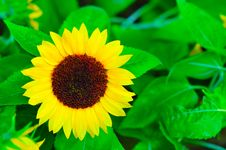 Free Sunflower Stock Images - 7951724