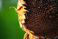 Free Sun-flower Royalty Free Stock Image - 7952806