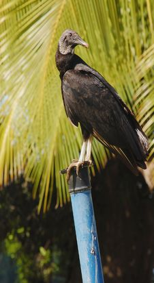 Free Black Vulture Coragyps Atratus Perched  Tree Trunk Stock Image - 7953351