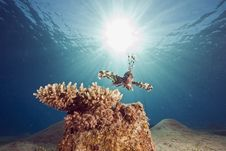 Free Lionfish Stock Photo - 7954280