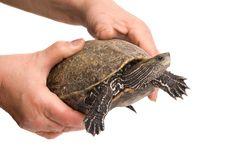Caspian  Turtle Stock Photos