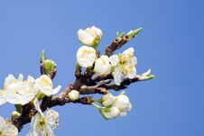 Free Apple Blossom. Stock Photos - 7954813