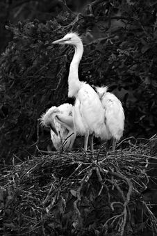 Free Three Egret Chicks Royalty Free Stock Photography - 7956177