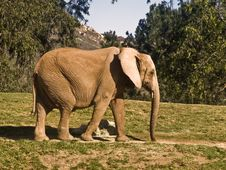 Free Elephant Taking A Stroll Stock Photo - 7956210