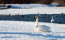 Free Young Swan Stock Images - 7957244