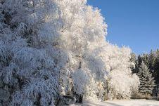 Free Snowy Trees No.3 Royalty Free Stock Image - 7958146