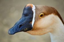 Free Kind Of Goose Stock Photo - 7958870