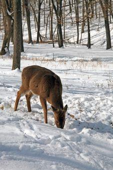Free Deer Stock Photos - 7959423