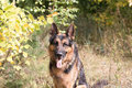 Free Dog German Shepherd In The Forest In A Nice Day Royalty Free Stock Image - 79507146