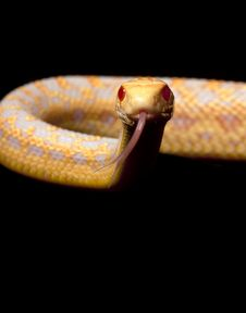 Free Albino San Diego Gopher Snake Royalty Free Stock Photography - 7960007