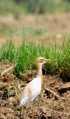 Free White Cattle Egret Stock Image - 7960241