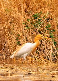 Free White Cattle Egret Stock Images - 7960284
