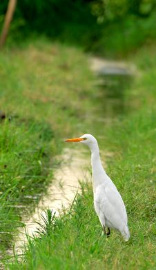 Free White Cattle Egret Royalty Free Stock Images - 7960339