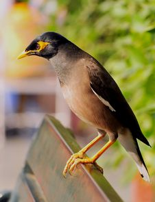 Myna Royalty Free Stock Photography