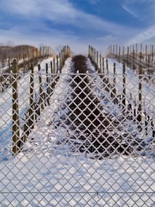 Free Vineyard In Winter 2 Royalty Free Stock Photo - 7961975