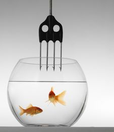 Two Goldfish In Danger Royalty Free Stock Image