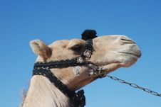 Free Camel Royalty Free Stock Photo - 7963145