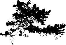 Free Pine Tree Branch Silhouette Stock Photos - 7963353