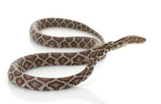 Free Mexican Night Snake Royalty Free Stock Photography - 7964137
