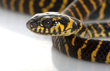 Free Midnight Mangrove Snake Stock Photos - 7964233