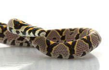Mandarin Rat Snake Stock Photo