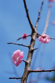Free Blossom Plum Branch Royalty Free Stock Images - 7964339