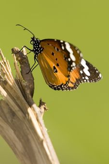 Free Monarch Royalty Free Stock Images - 7964439
