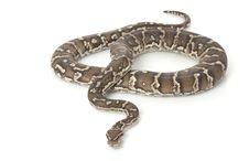 Free Angolan Python Stock Photos - 7964453