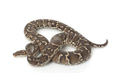 Angolan Python Royalty Free Stock Images