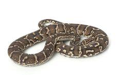 Angolan Python Stock Photos