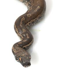 Free Borneo Black Blood Python Royalty Free Stock Photography - 7964557