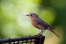 Free Bird - Male Redstart Stock Photography - 7964712
