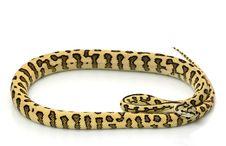 Jungle Jaguar Carpet Python Royalty Free Stock Images