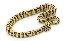 Jungle Jaguar Carpet Python Stock Images