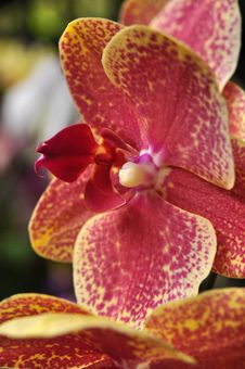 Free Orchid Royalty Free Stock Image - 7965076