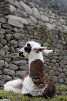 Machu Picchu Llamas Royalty Free Stock Photos