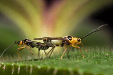Mirid Bug Macro Mating Royalty Free Stock Photography