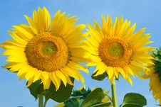 Free Sunflower Royalty Free Stock Photos - 7966338