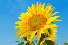 Free Sunflower Royalty Free Stock Images - 7966359