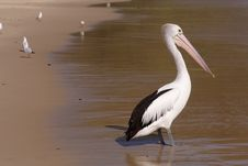 Free Pelican Stock Images - 7966844